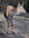 European red deer female 2 Royalty Free Stock Photos