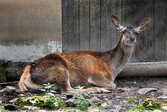 European red deer female 9