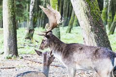 European red deer in the forest Royalty Free Stock Photos