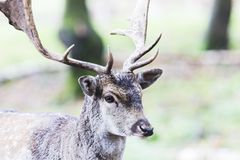 European red deer in the forest Stock Image