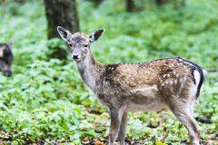European red deer in the forest Stock Photography