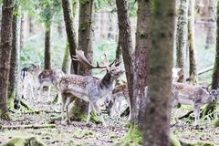 European red deer in the forest Royalty Free Stock Photo