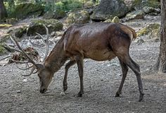 European red deer male 2 Stock Photo