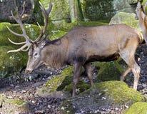 European red deer 4. European red deer male. Latin name - Cervus elaphus hippelaphus Royalty Free Stock Image