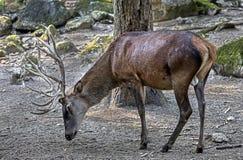 European red deer male 1 Royalty Free Stock Photo