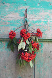 European Red Elder Sambucus racemosa  berry bunch on wall Royalty Free Stock Photo