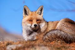 European red fox in autumn Royalty Free Stock Image