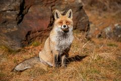 European red fox in autumn Stock Photo