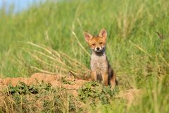 European Red Fox babies near their nest in the wild. Cute European Red Fox babies near their nest in the wild Royalty Free Stock Photography