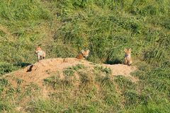 European Red Fox babies near their nest in the wild. Cute European Red Fox babies near their nest in the wild Stock Photo