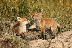 Fox brothers playing in natural habitat Royalty Free Stock Photos