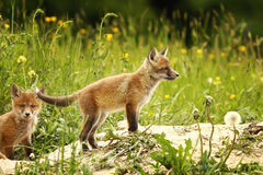 Fox cub near the forest. European red fox cub near the forest in a glade Vulpes stock photo