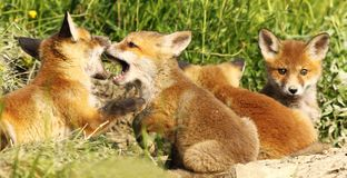 Fox cubs biting white playing near the burrow Stock Photo