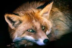 European Red Fox. Vulpes vulpes royalty free stock image