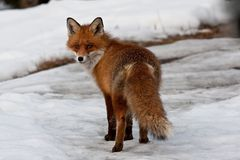 European red fox Stock Photos
