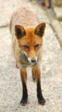 A European Red Fox Vulpes vulpes Stock Photography