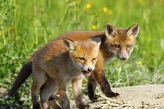 European red fox wild cubs Royalty Free Stock Image