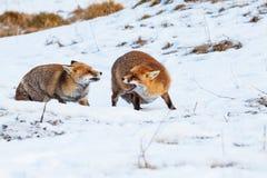 European red fox on the snow Royalty Free Stock Photo
