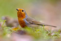 European red Robin in autumnal garden lawn. European red Robin (Erithacus rubecula) in garden lawn with autumnal colors Royalty Free Stock Image