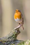 European red robin Stock Photos