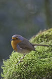 European Red Robin on Moss Stock Image