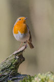 European red robin Royalty Free Stock Images