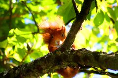 European Red Squirrel. A European Red Squirrel on a branch of a tree in Stuttgart Germany Stock Photos