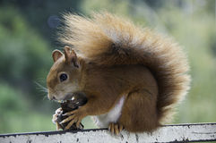 European red squirrel. Eating nuts Stock Photography