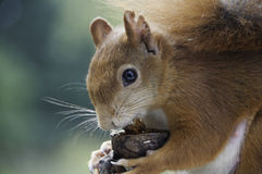 European red squirrel. Eating nuts Royalty Free Stock Photo