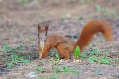 European red squirrel Stock Image