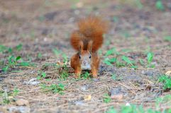 European red squirrel Royalty Free Stock Images