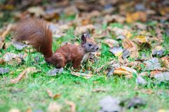 European red squirrel Royalty Free Stock Photo