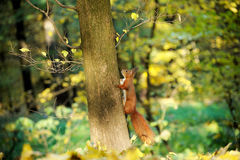 European red squirrel. Red squirrel on a background of wild nature stock image