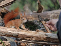 European red squirrel Royalty Free Stock Image