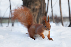 European red squirrel Sciurus vulgaris walking on snow Royalty Free Stock Photo