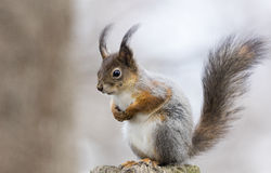 European red squirrel. Sitting top of pillar Stock Image