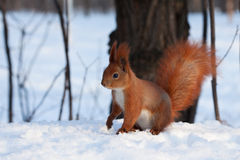 European red squirrel on snow in the forest Royalty Free Stock Photos