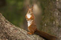 European red squirrel Stock Image