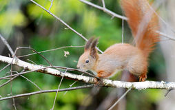 European red tree squirrel on the birch tree Stock Images