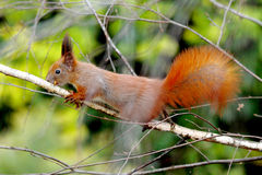 European red tree squirrel on the birch tree Stock Photos