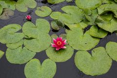 European red water lily and gren leaves. European red water lily, white water rose or white nenuphar, Nymphaea alba; Kingdom Plantae; Clade Angiosperms; Order Stock Photos