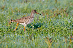 European redshank on grass Royalty Free Stock Photography