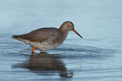 European redshank in water Stock Photo