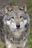European Redwolf Portrait Stock Photography