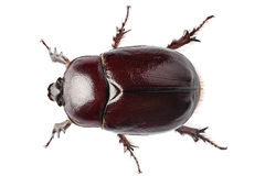 European rhinoceros beetle female Stock Images
