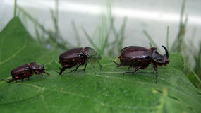 European rhinoceros beetle group. String of rhinos beetles crawling on green leaf Royalty Free Stock Photos