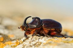 Free European Rhinoceros Beetle In The Wild - Oryctes Nasicornis Royalty Free Stock Images - 107486419