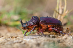 Free European Rhinoceros Beetle On The Forest Floor Stock Photos - 45126953