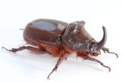 European rhinoceros beetle (Oryctes nasicornis) Stock Image