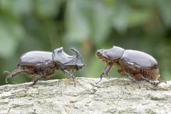 Free European Rhinoceros Beetle (Oryctes Nasicornis) Royalty Free Stock Photography - 31811087